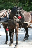Horses. In horse-drawn carriage Royalty Free Stock Photo