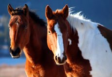 Horses. Two wild horses Stock Images