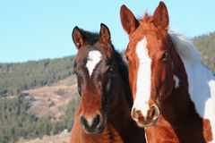 Horses. A pair of horses Stock Images