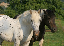 Horses. Beautiful horses in the garden Royalty Free Stock Photo