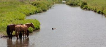Horses. Three horses on the river stock image