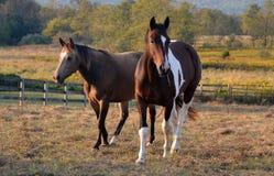 Horses1 Imagem de Stock