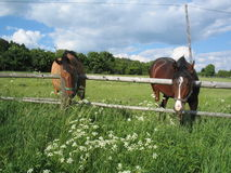 Horses. Two horses out at grass Royalty Free Stock Photo