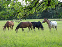 Horses. They are grazing four horses sie on the meadow Stock Images