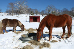 Horses. Two horses in winter feeding on hay Royalty Free Stock Images