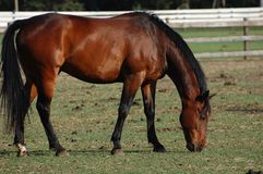 Horses. Eating grass in the farm Royalty Free Stock Photography