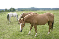 Horses. Three horses in the countryside Stock Images