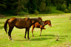 Horses. On a green meadow Stock Image