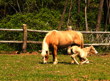 Horses. Two horses (one new born) in the countryside Stock Image
