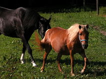 Horses. In a pasture Stock Image