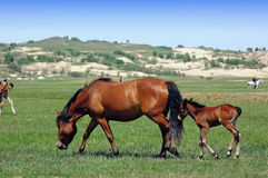 Horses. Two horses walk around the grassland Stock Photos