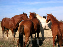 Horses. Ranch horses in north Texas Stock Photo