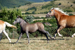 Horses. Wild horses running in a field Stock Photos