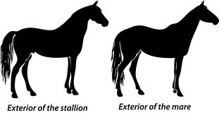 Horses. Exterior of the stallion and mare is shown on white background Stock Photography