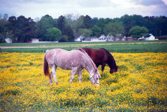Horses. Two Horses grazing in a field of flowers Royalty Free Stock Photography