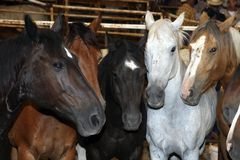Horses. Five heads of Rodeo horses standing together in a stable Stock Image