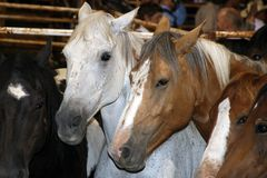 Horses. Rodeo stock horses in a stable Stock Photo