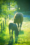 Horses. Mare with foal, at sunset / dusk stock image