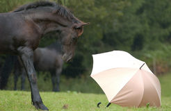 Horses. A young stallion meet the first time an umbrella Royalty Free Stock Images