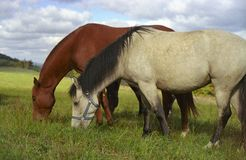 Horses. Two horses on pasture Stock Images