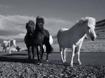 Horses. High contrast monochromatic photo of horses Stock Photo