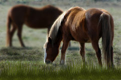 Horses. Brown horses in the field Royalty Free Stock Photography