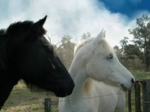 Horses. White and black horses in the field Stock Photo