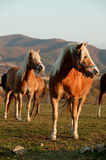 Horses. Portrait of a wild horses Royalty Free Stock Photography