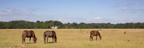 Horses. Grazing in a Field royalty free stock photo