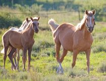 Horses. Image or a mare and two colts Stock Photos