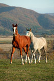 Horses. Portrait of a wild horses Stock Image