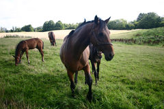 Horses. On a field in the summer Royalty Free Stock Images