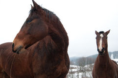 Horses. Few polish horses. Winter. Bieszczady Mountains Stock Photos