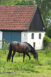Horses. On a field in the summer  with a house in the background Stock Image