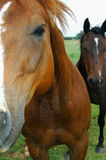 Horses. Two Horses in a Field Royalty Free Stock Images