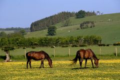 Horses. In yellow field royalty free stock photo