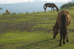 Horses. Grazing after a hard day's work Royalty Free Stock Photo