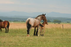 Horses. Horse and foal stock image