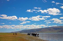 Horses. Drink water in the lake in sun day Stock Image