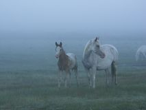 Horses. In foggy farm Stock Images