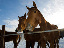 Horses. Beautiful horses on a farm Royalty Free Stock Photo