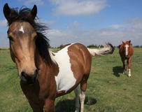Horses. Pinto and sorrel horses in pasture Royalty Free Stock Photo
