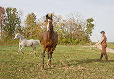 Horses in Action While Being Trained Royalty Free Stock Photography