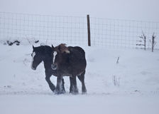 Horses Against the Wind. Two horses walking against the cold wind in a snowy mountain Royalty Free Stock Photos