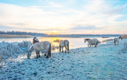 Horses along the shore of a frozen lake Stock Images