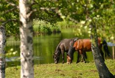 Horses alongside of a river. Two horses walking alongside the river. Trees, grass and water surrounding them in a beautiful atmosphere. Summer in Lapland, Sweden royalty free stock photo