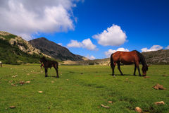 Horses on an alpine meadow Royalty Free Stock Photography