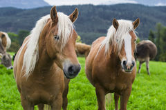 Horses in an Alpine meadow Royalty Free Stock Photography
