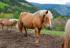 Horses in Alps Royalty Free Stock Photo