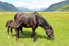 Horses in the Alps Royalty Free Stock Photography